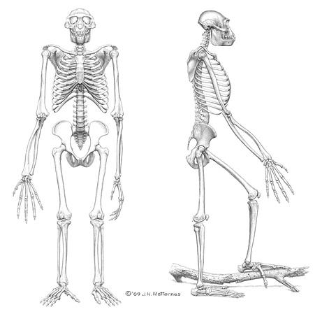 Disegno dello scheletro di Ardi (J.H. Matternes)