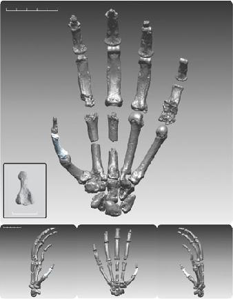 La mano digitalizzata di Ardi (Science/AAAS)
