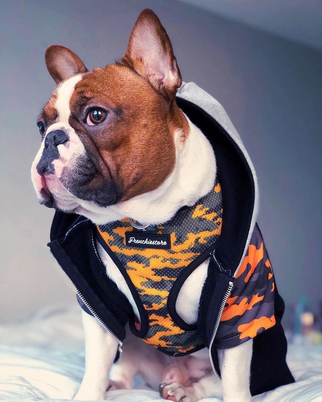 French Bulldog Financing : french, bulldog, financing, French, Bulldog, Puppy, Budget