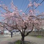 Arbol Sakura cerca de Nintendo