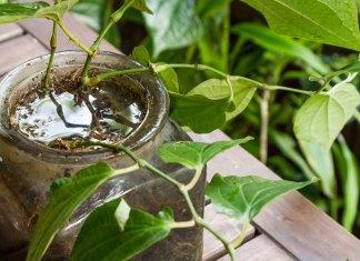 Plante en croissance dans un pot de verre