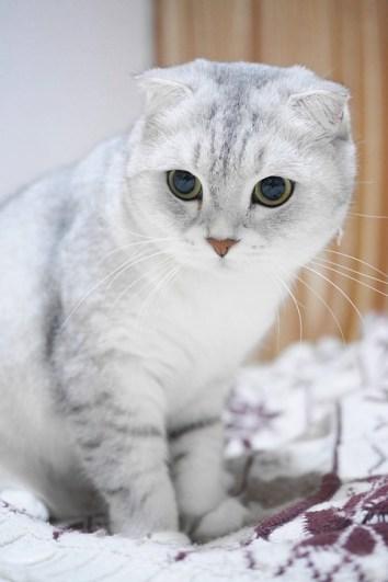 pisica scottish-fold