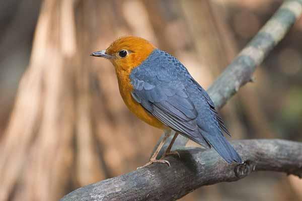 Daftar Jenis Burung Yang Sering Dilombakan Dengan Harga Yang Mahal - Burung Anis Merah