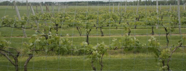 Channing Daughters vines & trellis