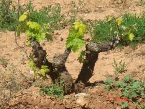 Bushvine (viña en vaso)