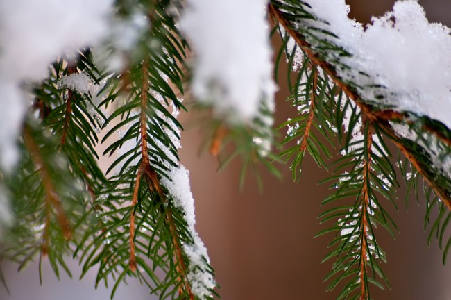 Needles with white snow