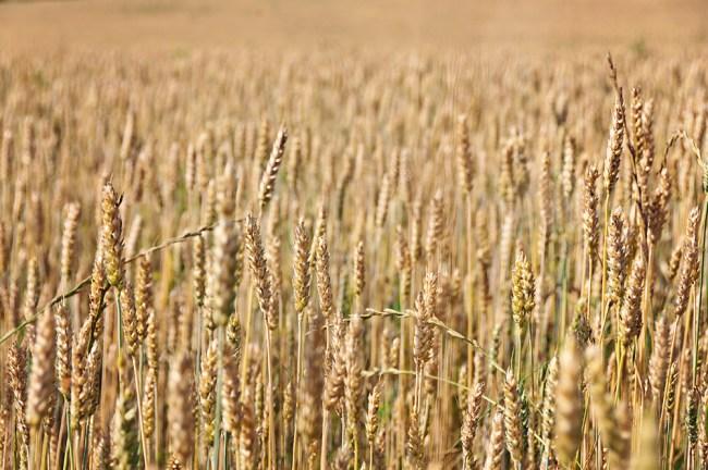Yellow grains