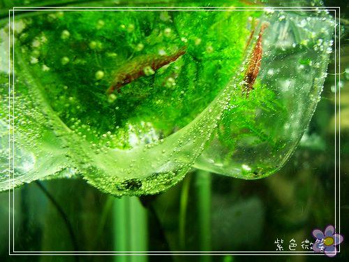 [養蝦]新完成~玫瑰蝦水草缸 - ~Smilejean紫色微笑~ - FashionGuide 華人時尚專業評鑑
