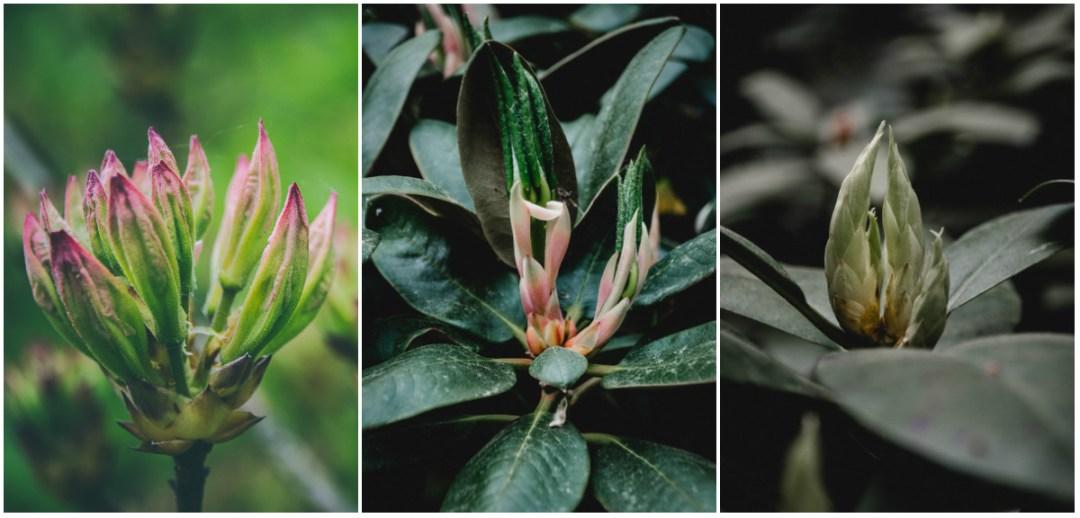 rhododendron knoppar