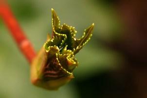 Blomsterphoto Budding Leaf Hydrangea 2016 Soli
