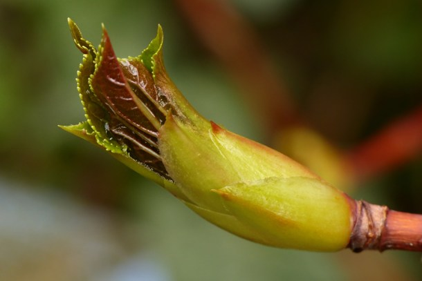 Blomsterphoto Budding Leaf Hydrangea Soli 2016