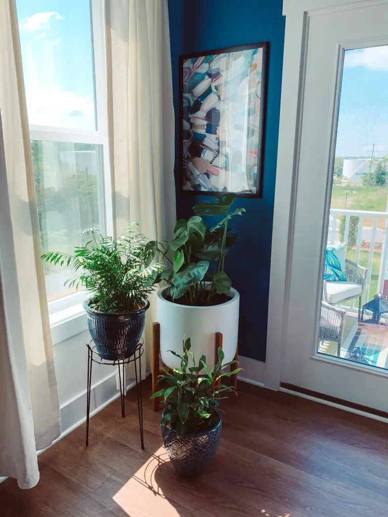best indoor plants for beginners - monstera, parlor palm