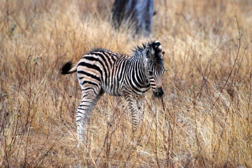 Baby zebra in South Africa