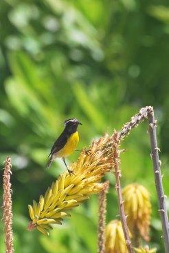 Ubiquitous yellow bird on Antigua