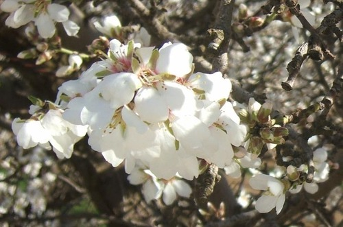 Spring_almonds_1