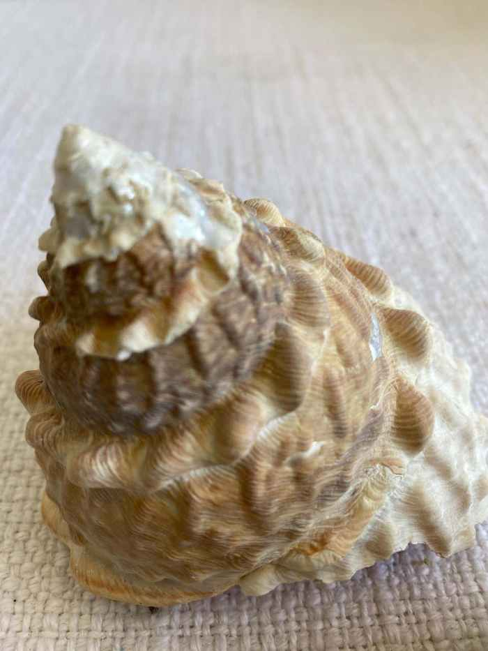 Set of 2 Natural Assorted Sea Shells