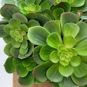 Large Succulents
