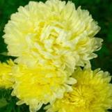 Aster - Duchess Yellow