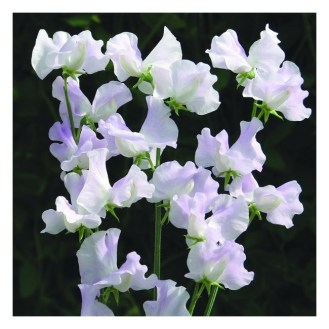 SWEET PEA Percy Thrower