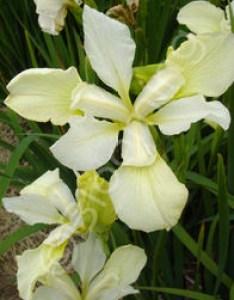 Iris sibirica  chartreuse bounty also rh bloomingadvantage