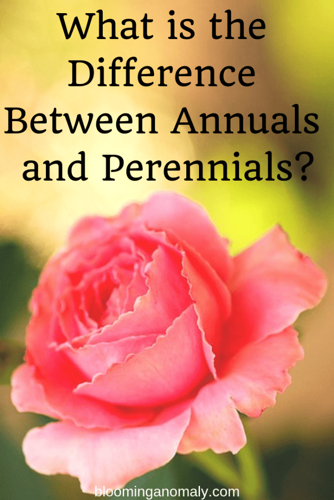 annuals and perennials, roses, flowers, plants, what is the difference between annuals and perennials