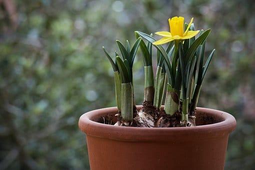 how to grow bulbs, flower bulbs, daffodil bulbs