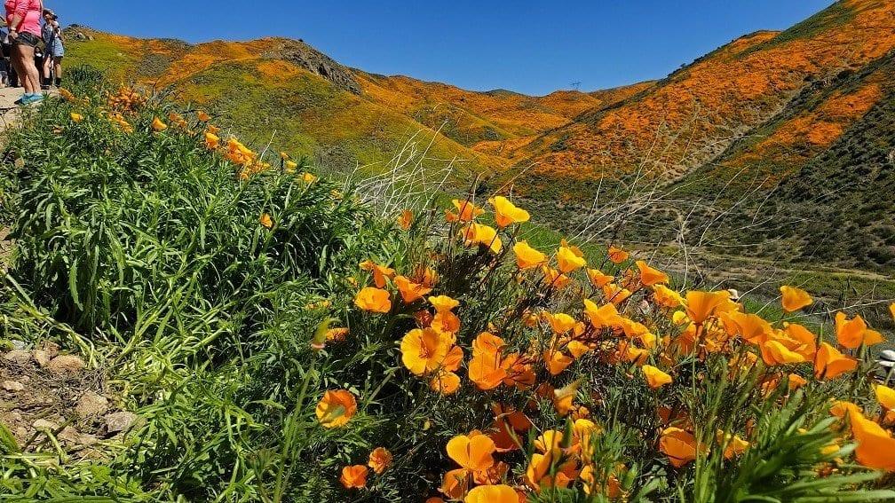 wildflower superbloom