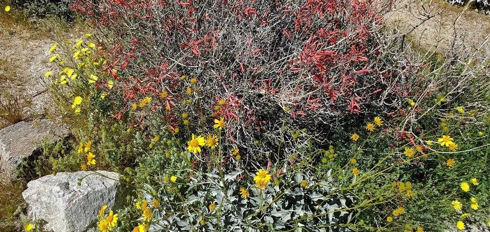 anza borrego state park, wildflower, superbloom