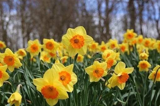 10 plants to grow in spring, daffodils, spring plants, spring flowers
