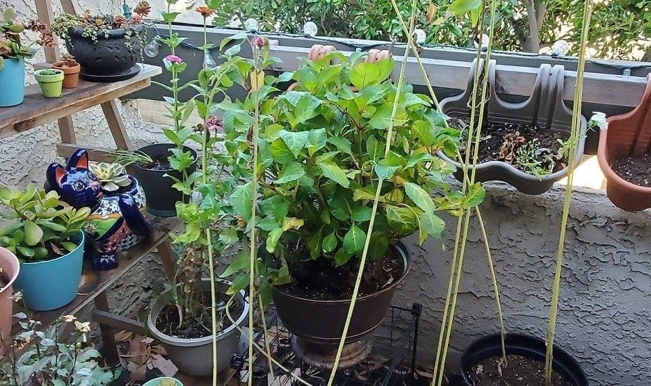 how to plant hydrangeas