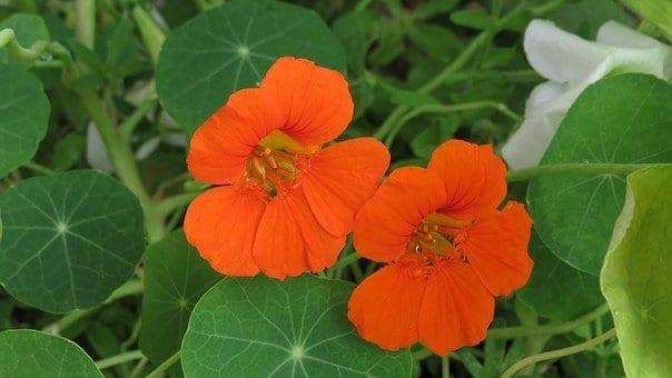 nasturtium, how to get rid of whiteflies
