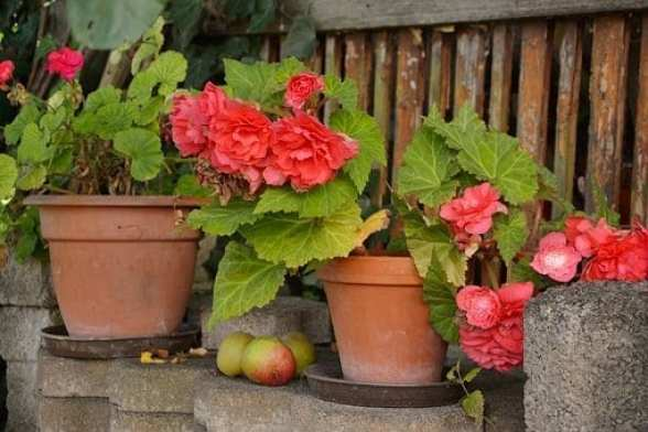begonias, shade plants