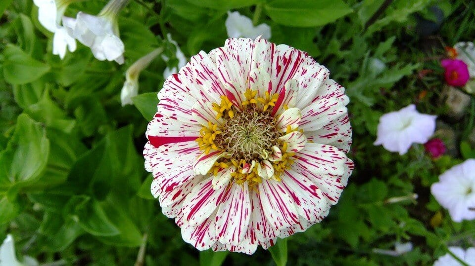 striped zinnia flower