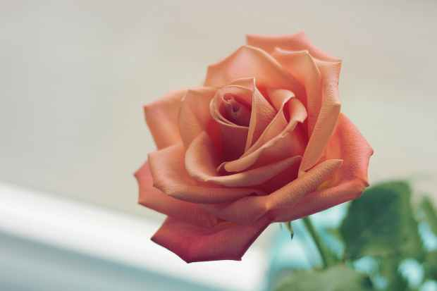 pink rose focus photo