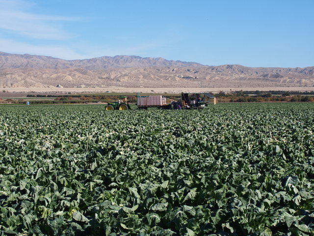 Cauliflower harvest in Imperial Valley.