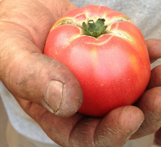 First of the heirloom tomatoes!