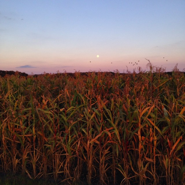 "August's super moon, or the full ""corn moon"" , rising over our popcorn planting."