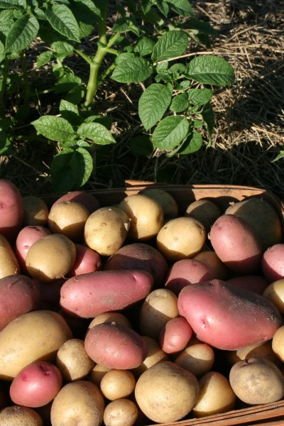 Ten Interesting Facts About Potatoes