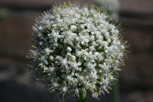 onion plant bloom