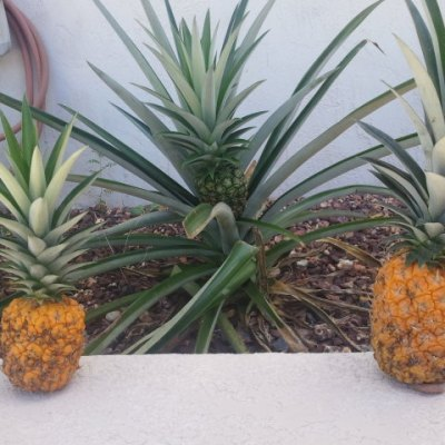 Planting Pineapples