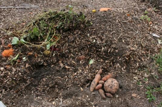 Compost sweet potatoes