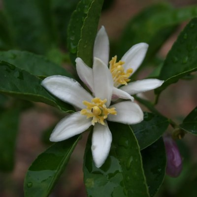 Lemon Blossoms Abound