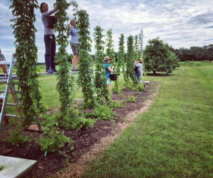IFAS exploration gardens hop harvest