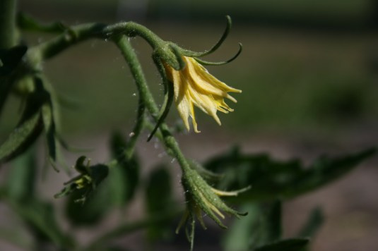 Tomato Blossoms Bloominthyme