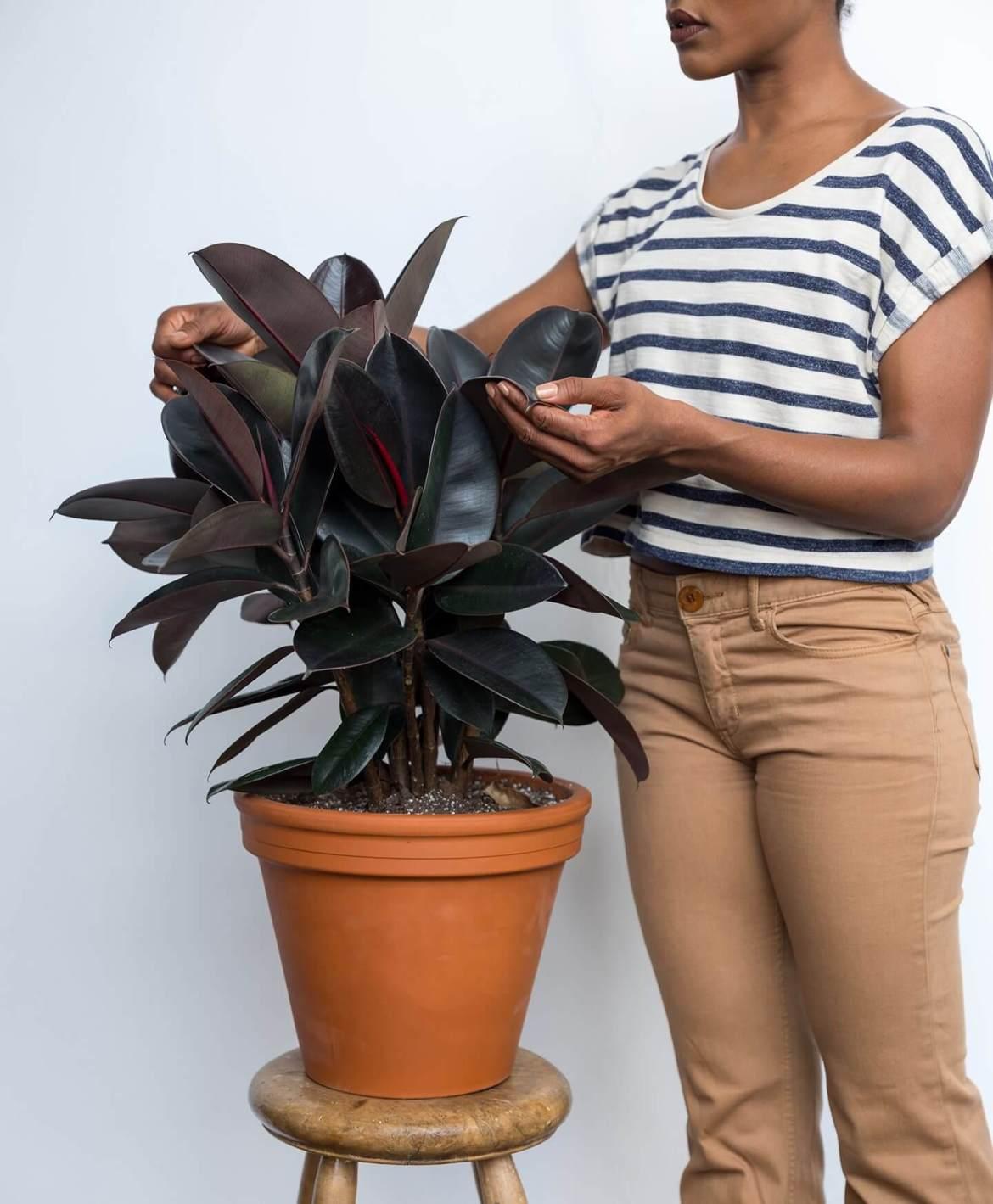 5 Easy Houseplants | Burgundy Rubber Tree Plant | Mass Over Matter
