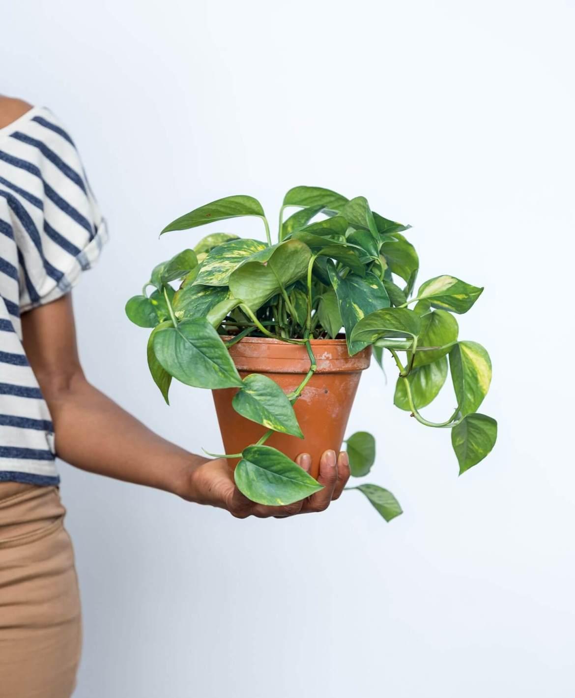 Easy Houseplant | Pothos | Home Decor - Mass Over Matter