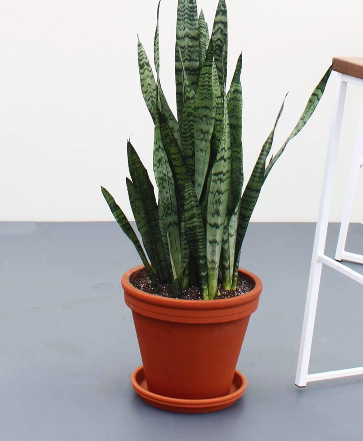 Snake Plant, Sansevieria | Easy Houseplants | Mass Over Matter