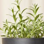 Buy Potted Lavender Bloomscape