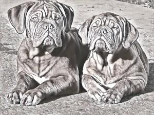 Gallery Dog De Bordeaux 45