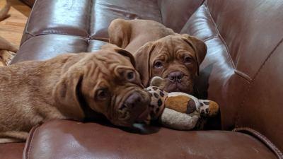 Dog De Bordeaux puppies on couch